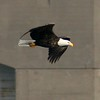 Eagles : 2 galleries with 46 photos
